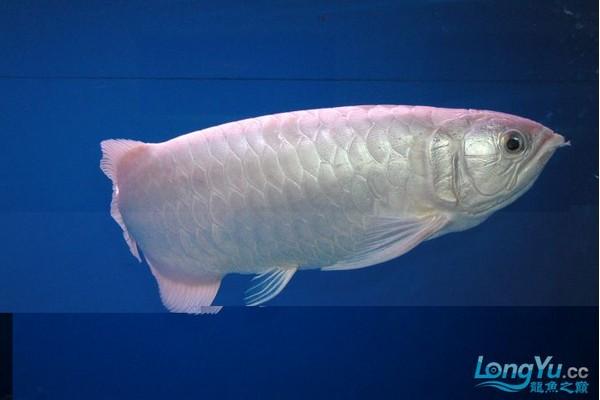 白金龙鱼 - 金龙鱼 - 龙鱼品种 - 龙鱼 - 观赏鱼百科