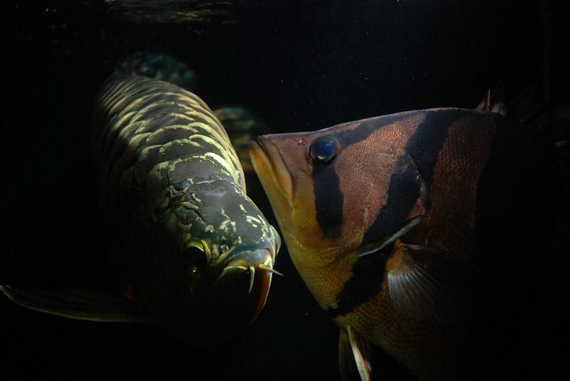 另外常见的虎鱼混养搭配有 -虎鱼混养 虎鱼饲养 虎鱼 观赏鱼百科图片