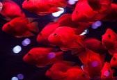 鹦鹉鱼繁殖