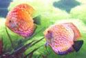 神仙鱼疾病