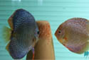 神仙鱼繁殖