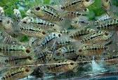 罗汉鱼繁殖
