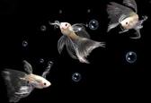 孔雀鱼玩家