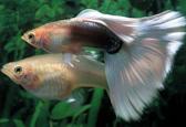 孔雀鱼繁殖