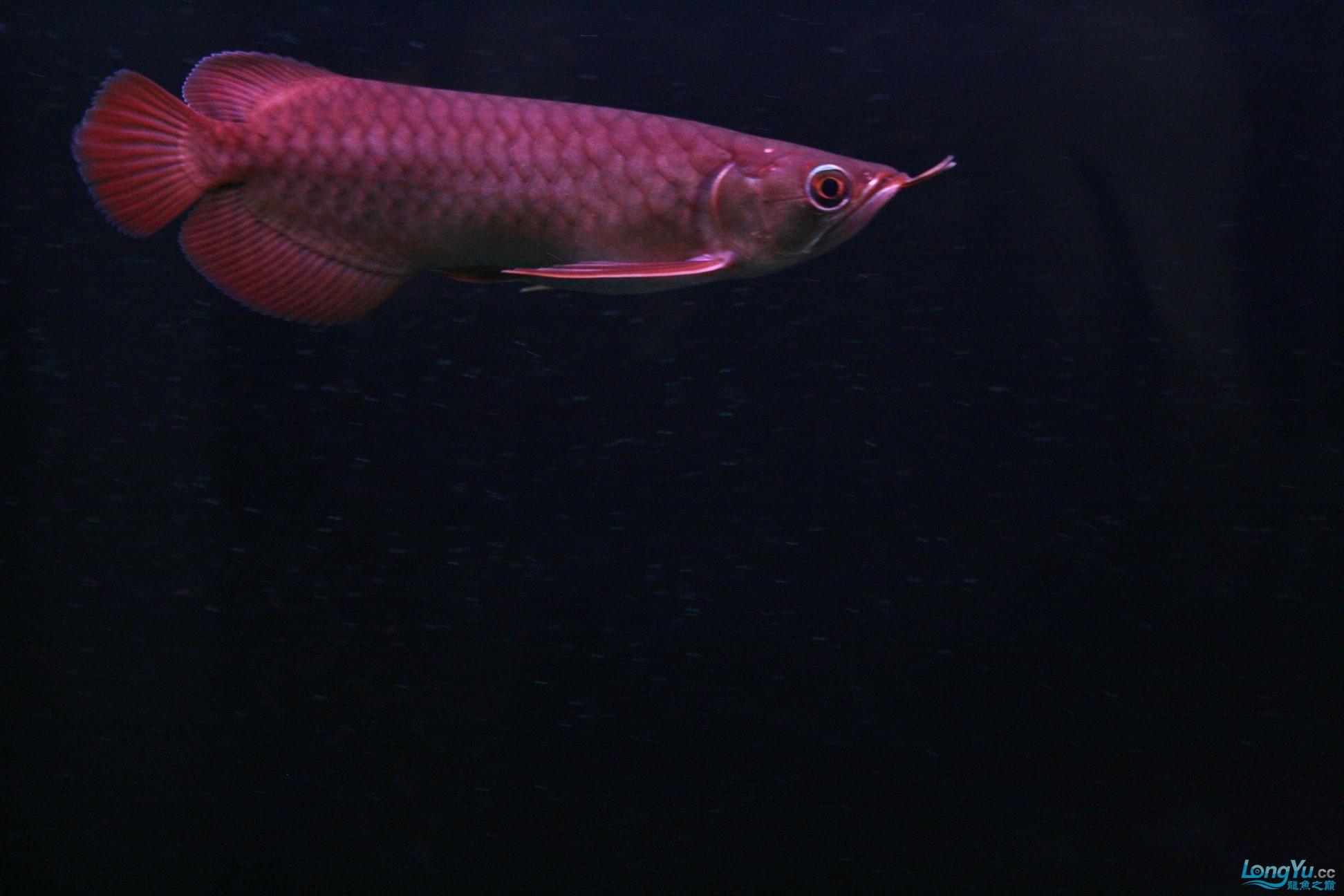 【已售】8月24日新到政锡超血王龙王(803)20cm (短身)6800 达州龙鱼论坛 达州水族批发市场第7张