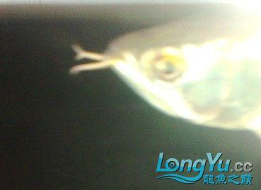 另外胡须分叉这种问题一般来讲除先天之外 观赏鱼常见疾病 南通水族批发市场第9张