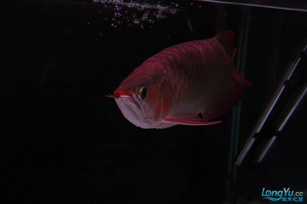 【呼和浩特非洲虎鱼】整11个月,纪念一下。大家拍拍 呼和浩特龙鱼论坛 呼和浩特龙鱼第3张