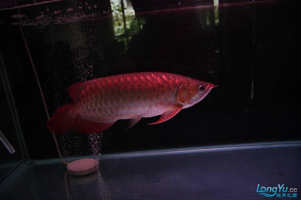 【呼和浩特非洲虎鱼】整11个月,纪念一下。大家拍拍 呼和浩特龙鱼论坛 呼和浩特龙鱼第5张