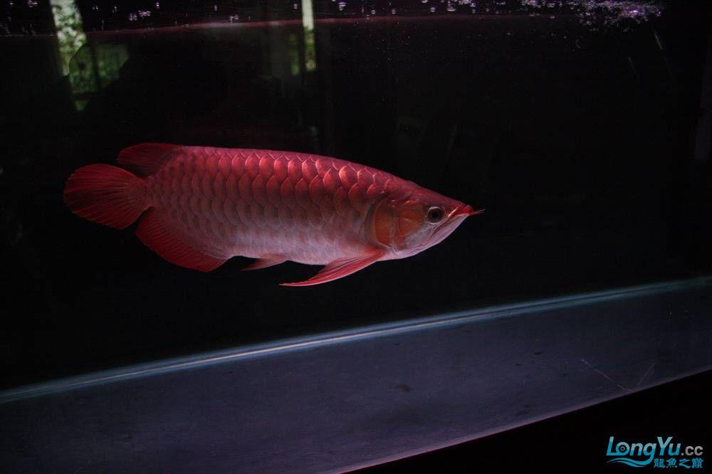 【呼和浩特非洲虎鱼】整11个月,纪念一下。大家拍拍 呼和浩特龙鱼论坛 呼和浩特龙鱼第6张