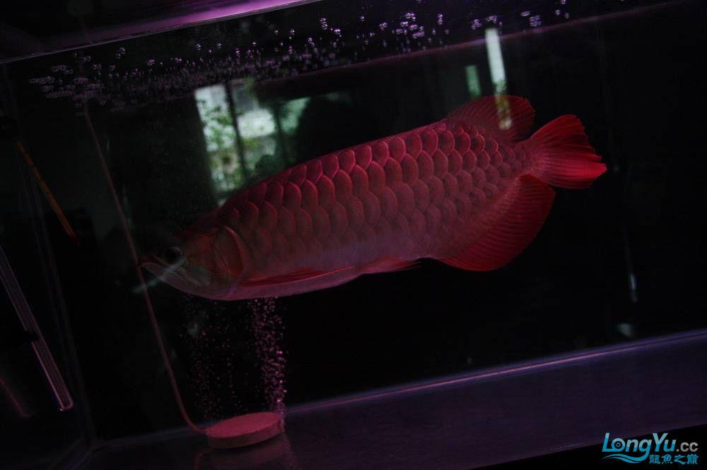 【呼和浩特非洲虎鱼】整11个月,纪念一下。大家拍拍 呼和浩特龙鱼论坛 呼和浩特龙鱼第9张
