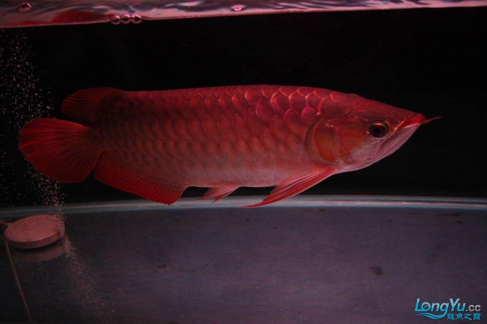 【呼和浩特非洲虎鱼】整11个月,纪念一下。大家拍拍 呼和浩特龙鱼论坛 呼和浩特龙鱼第12张