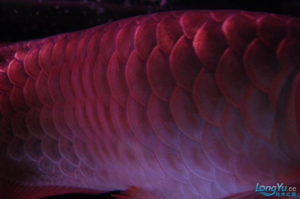 【呼和浩特非洲虎鱼】整11个月,纪念一下。大家拍拍 呼和浩特龙鱼论坛 呼和浩特龙鱼第15张