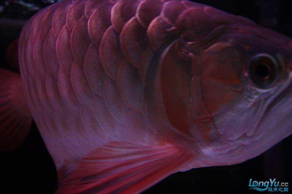 【呼和浩特非洲虎鱼】整11个月,纪念一下。大家拍拍 呼和浩特龙鱼论坛 呼和浩特龙鱼第16张