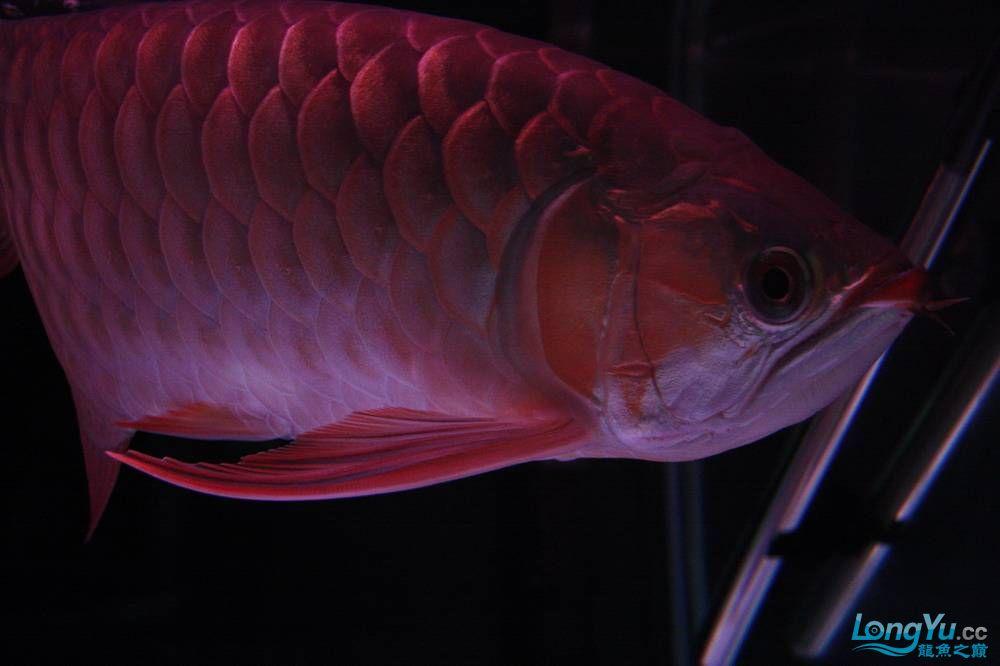 【呼和浩特非洲虎鱼】整11个月,纪念一下。大家拍拍 呼和浩特龙鱼论坛 呼和浩特龙鱼第18张