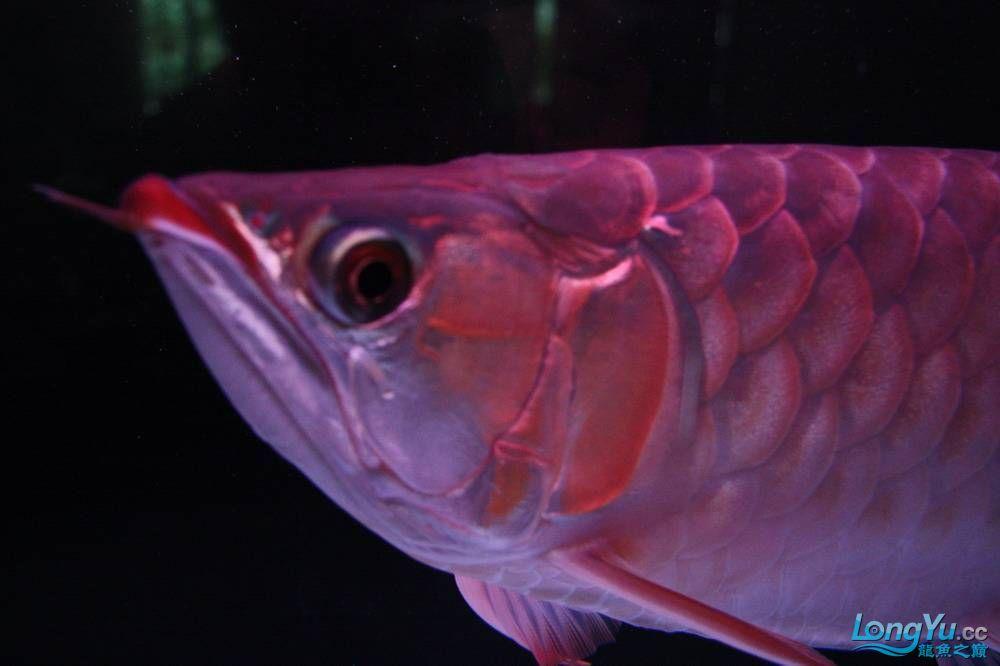 【呼和浩特非洲虎鱼】整11个月,纪念一下。大家拍拍 呼和浩特龙鱼论坛 呼和浩特龙鱼第20张