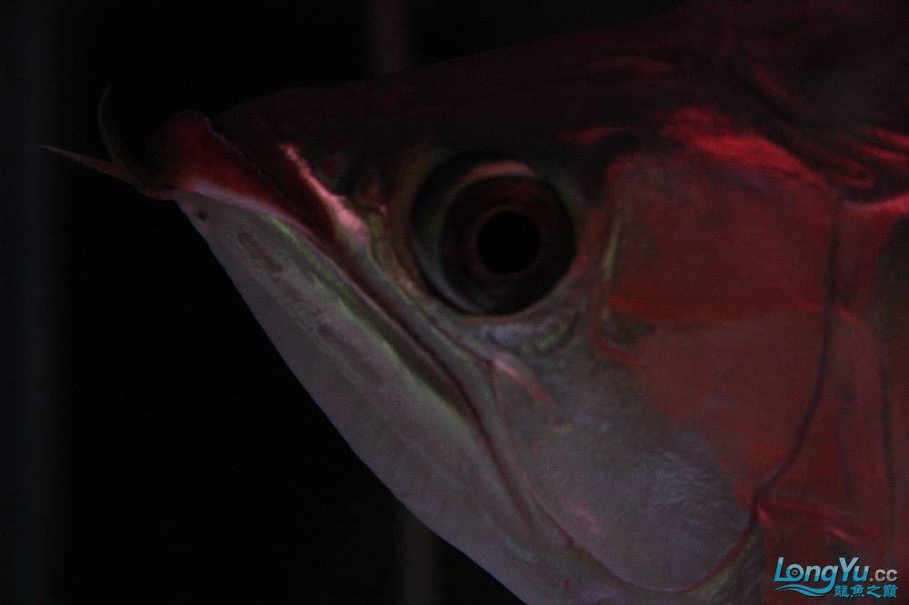 【呼和浩特非洲虎鱼】整11个月,纪念一下。大家拍拍 呼和浩特龙鱼论坛 呼和浩特龙鱼第21张
