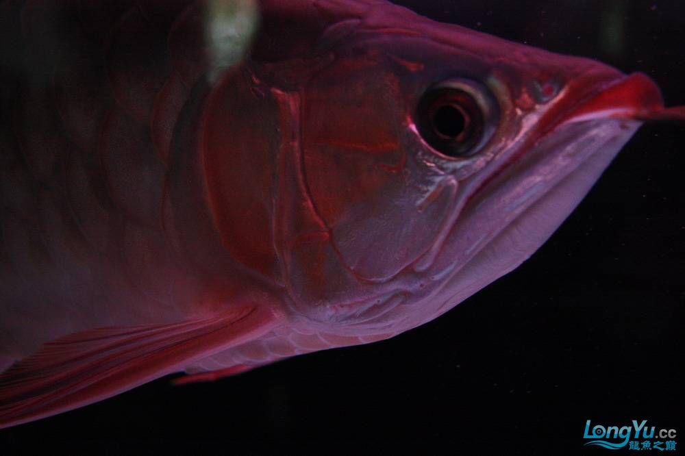 【呼和浩特非洲虎鱼】整11个月,纪念一下。大家拍拍 呼和浩特龙鱼论坛 呼和浩特龙鱼第23张