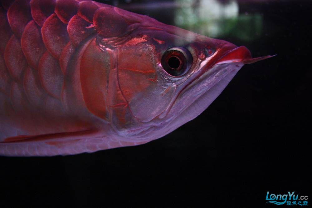 【呼和浩特非洲虎鱼】整11个月,纪念一下。大家拍拍 呼和浩特龙鱼论坛 呼和浩特龙鱼第24张