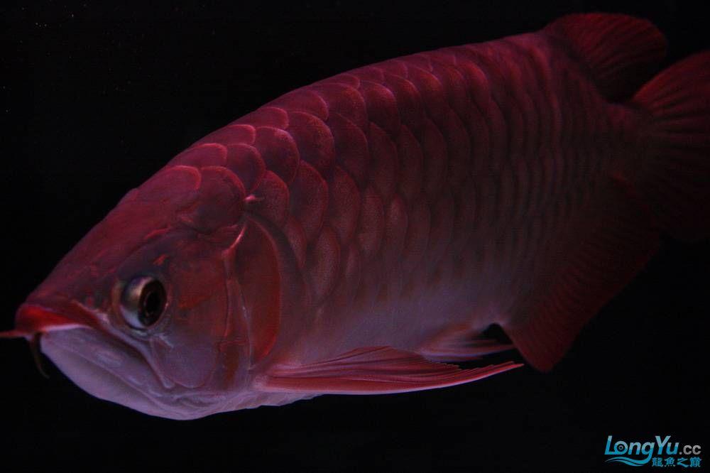 【呼和浩特非洲虎鱼】整11个月,纪念一下。大家拍拍 呼和浩特龙鱼论坛 呼和浩特龙鱼第25张