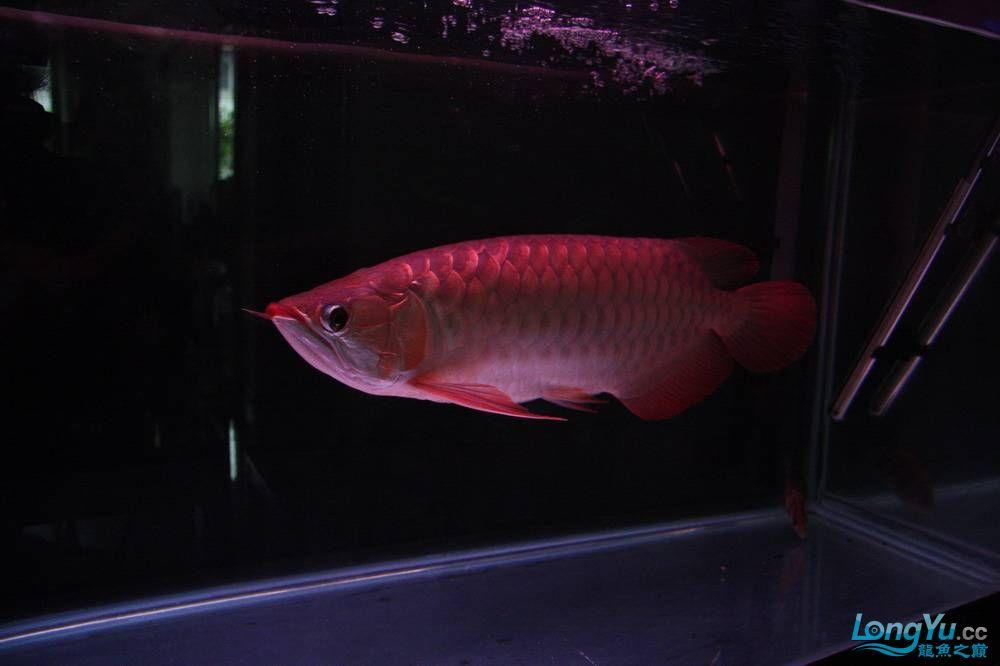 【呼和浩特非洲虎鱼】整11个月,纪念一下。大家拍拍 呼和浩特龙鱼论坛 呼和浩特龙鱼第28张