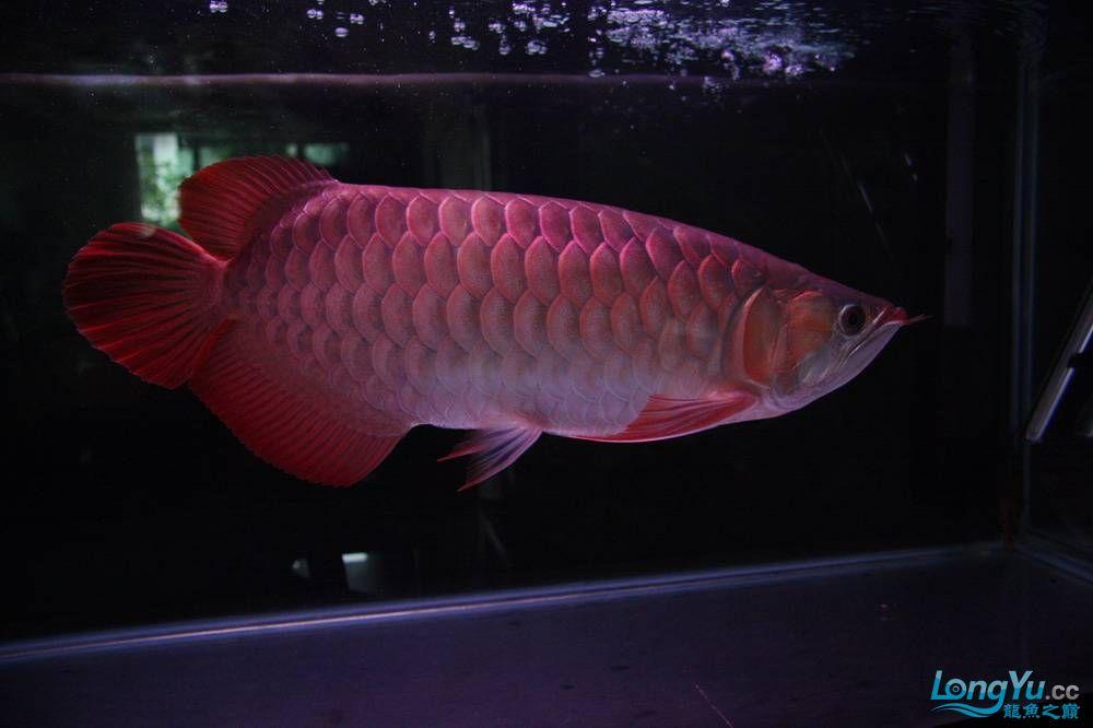 【呼和浩特非洲虎鱼】整11个月,纪念一下。大家拍拍 呼和浩特龙鱼论坛 呼和浩特龙鱼第31张