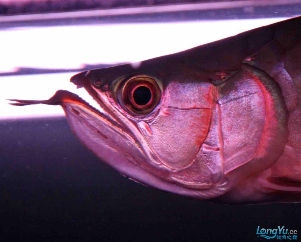 小龙王成长记录(2010年9月11日) 济南观赏鱼 济南龙鱼第6张
