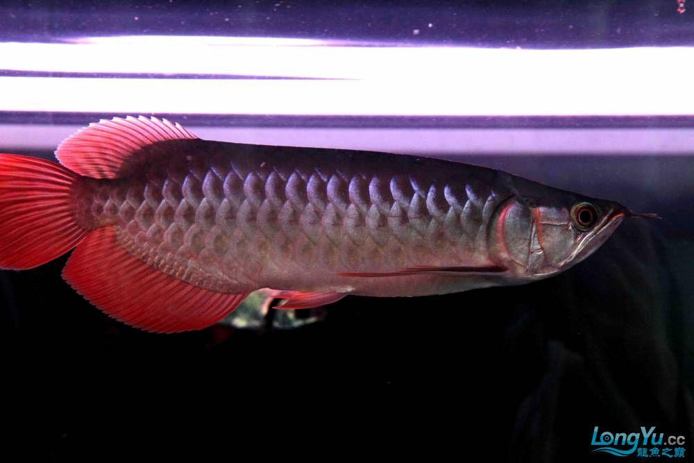 小龙王成长记录(2010年9月11日) 济南观赏鱼 济南龙鱼第2张