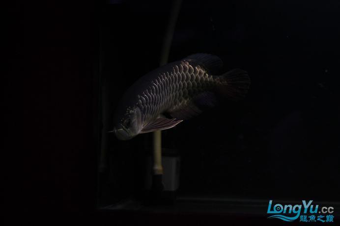 已售广州骆先生 炮弹头蓝底细框大金40多厘米 刚从混养缸里捞出来 哈哈 3500 济南龙鱼论坛 济南龙鱼第1张