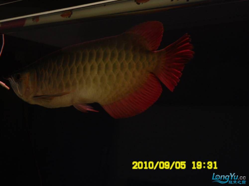 我的红龙鱼,前济南观赏鸟处理面发贴,大家说鱼发色慢我买了御龙国际顶灯后的效果!大 济南观赏鱼 济南龙鱼第36张