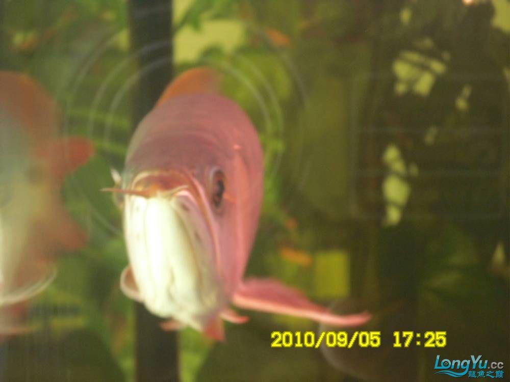 我的红龙鱼,前济南观赏鸟处理面发贴,大家说鱼发色慢我买了御龙国际顶灯后的效果!大 济南观赏鱼 济南龙鱼第41张