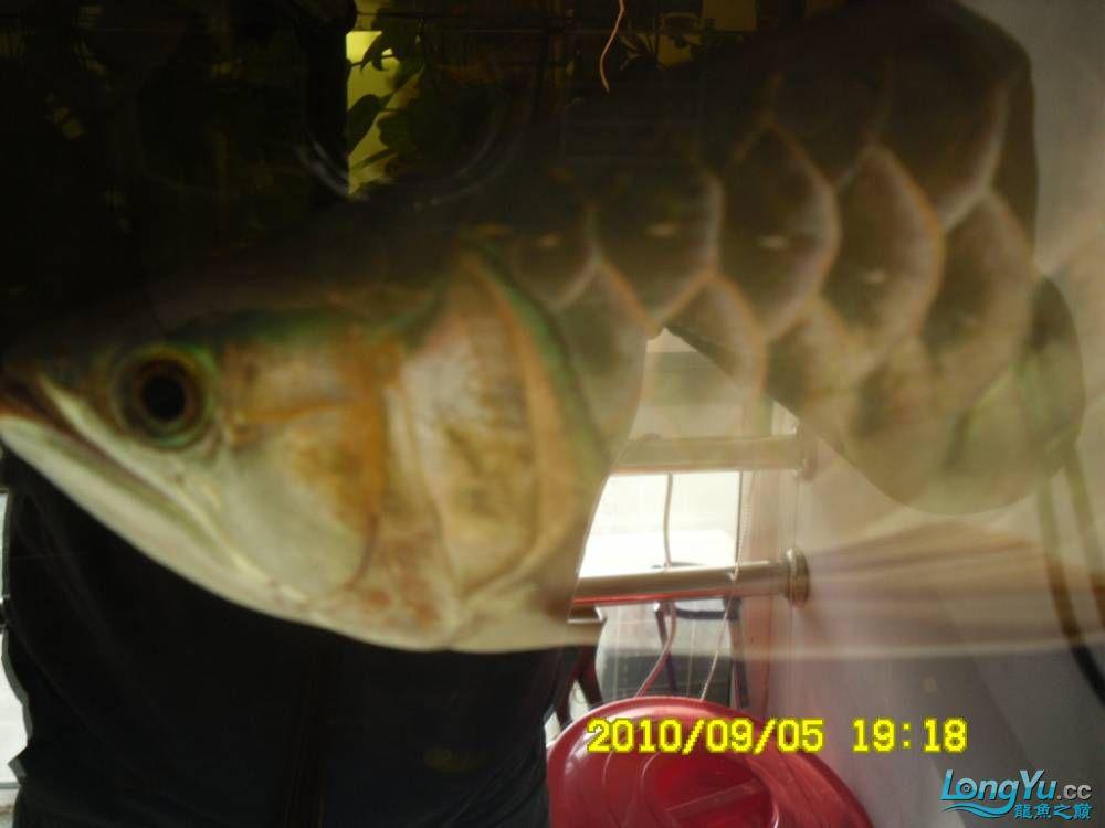 我的红龙鱼,前济南观赏鸟处理面发贴,大家说鱼发色慢我买了御龙国际顶灯后的效果!大 济南观赏鱼 济南龙鱼第43张