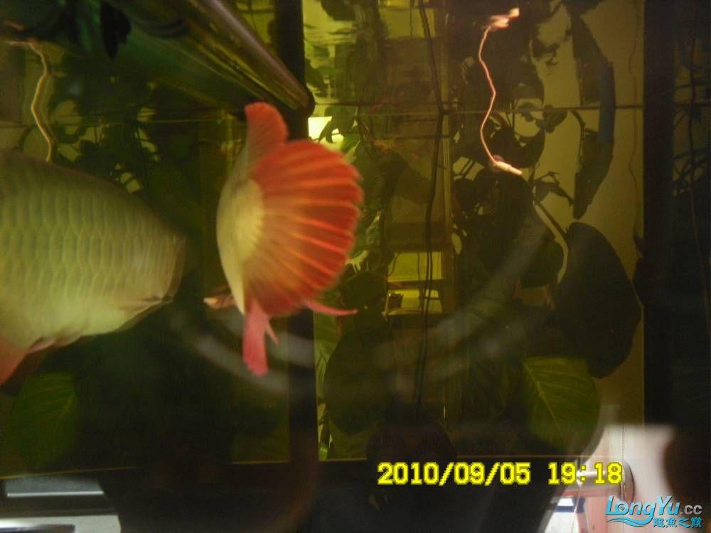 我的红龙鱼,前济南观赏鸟处理面发贴,大家说鱼发色慢我买了御龙国际顶灯后的效果!大 济南观赏鱼 济南龙鱼第68张