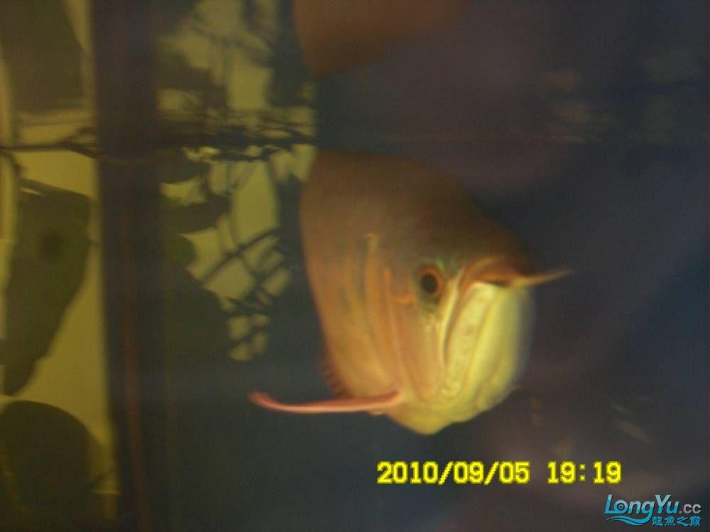 我的红龙鱼,前济南观赏鸟处理面发贴,大家说鱼发色慢我买了御龙国际顶灯后的效果!大 济南观赏鱼 济南龙鱼第70张