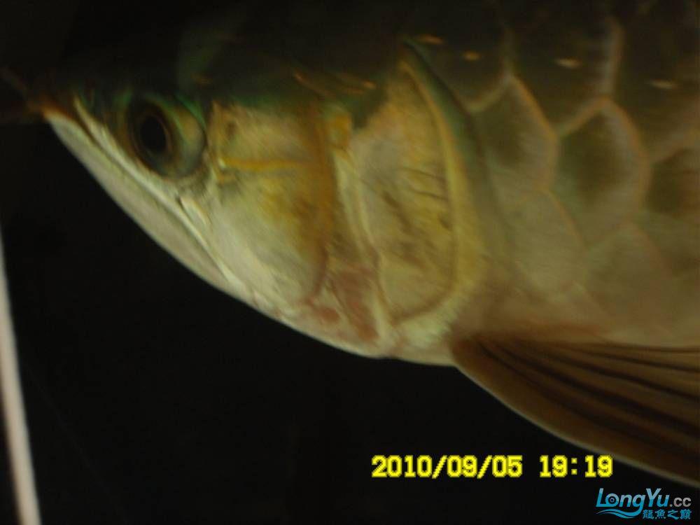 我的红龙鱼,前济南观赏鸟处理面发贴,大家说鱼发色慢我买了御龙国际顶灯后的效果!大 济南观赏鱼 济南龙鱼第46张