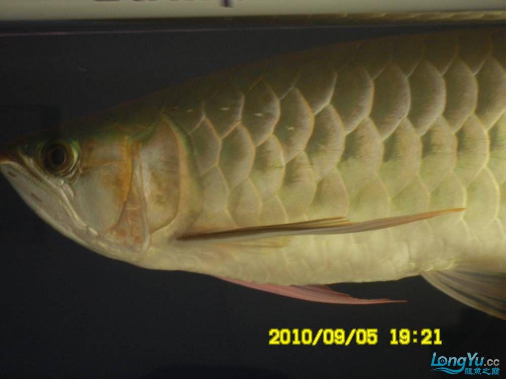 我的红龙鱼,前济南观赏鸟处理面发贴,大家说鱼发色慢我买了御龙国际顶灯后的效果!大 济南观赏鱼 济南龙鱼第45张