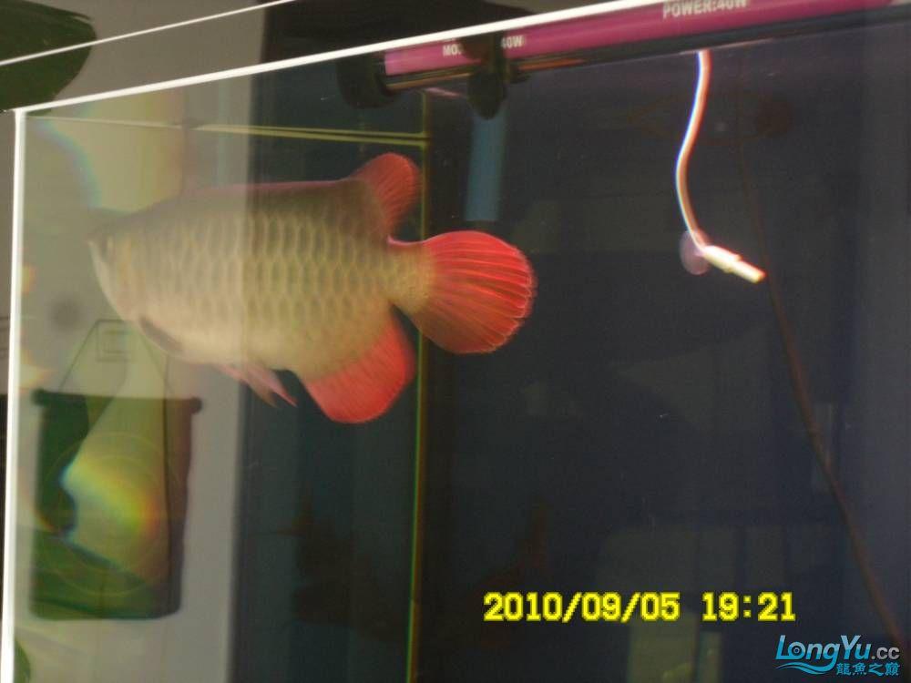 我的红龙鱼,前济南观赏鸟处理面发贴,大家说鱼发色慢我买了御龙国际顶灯后的效果!大 济南观赏鱼 济南龙鱼第72张