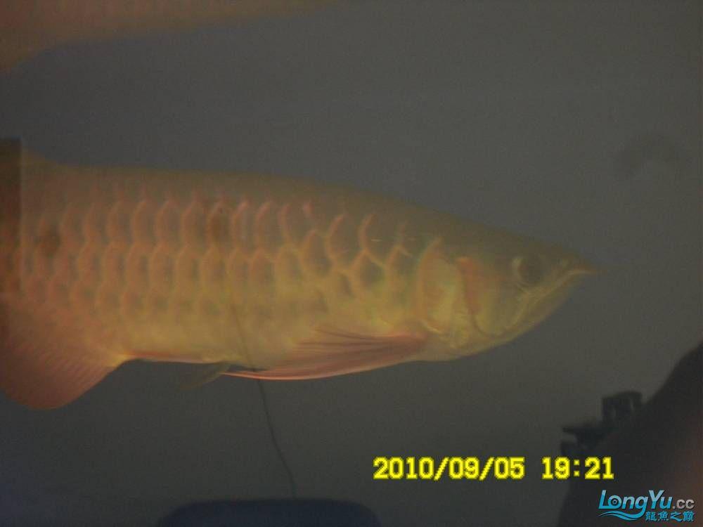 我的红龙鱼,前济南观赏鸟处理面发贴,大家说鱼发色慢我买了御龙国际顶灯后的效果!大 济南观赏鱼 济南龙鱼第73张