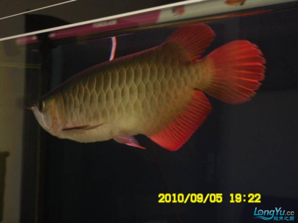 我的红龙鱼,前济南观赏鸟处理面发贴,大家说鱼发色慢我买了御龙国际顶灯后的效果!大 济南观赏鱼 济南龙鱼第74张