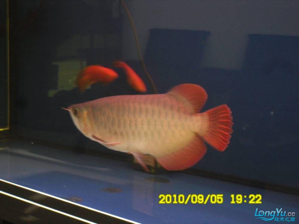 我的红龙鱼,前济南观赏鸟处理面发贴,大家说鱼发色慢我买了御龙国际顶灯后的效果!大 济南观赏鱼 济南龙鱼第47张