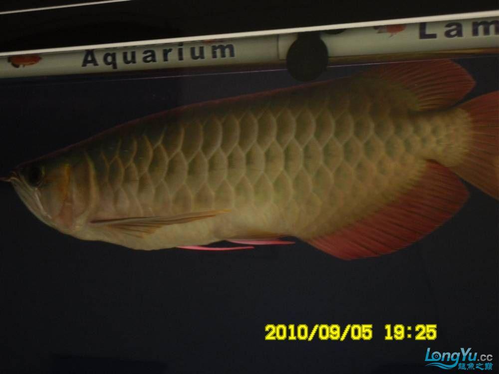 我的红龙鱼,前济南观赏鸟处理面发贴,大家说鱼发色慢我买了御龙国际顶灯后的效果!大 济南观赏鱼 济南龙鱼第49张