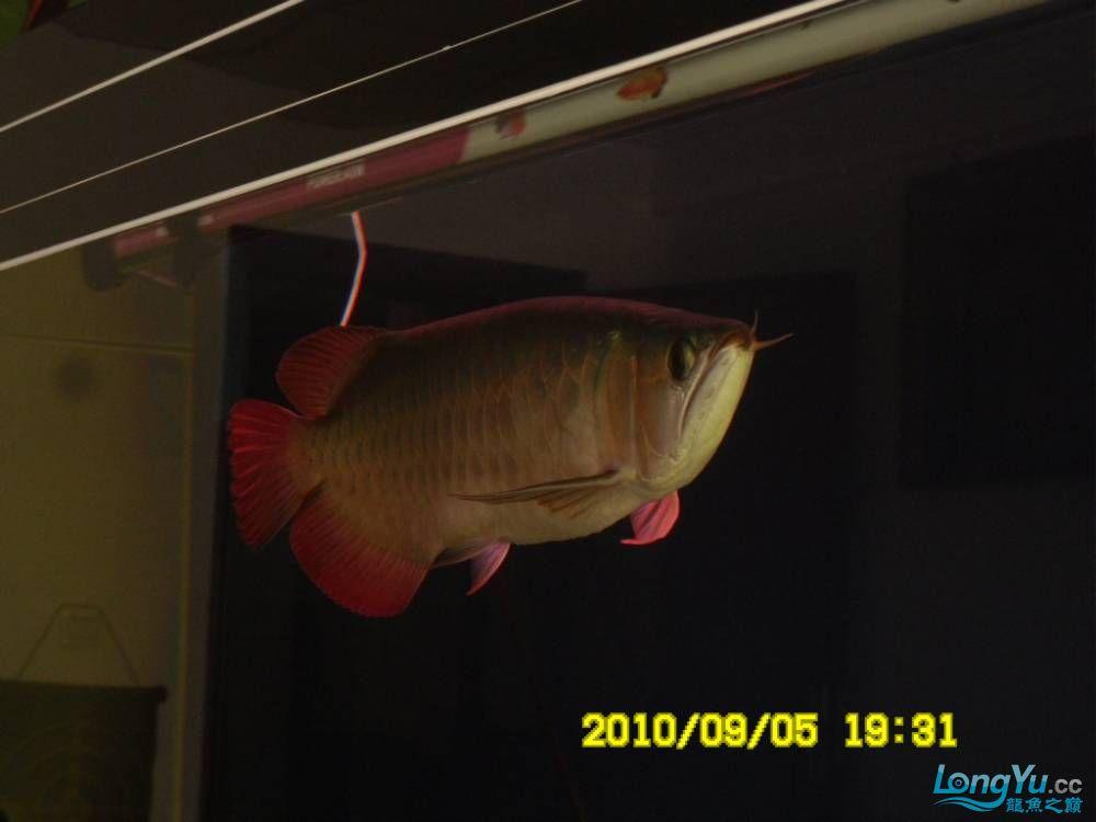 我的红龙鱼,前济南观赏鸟处理面发贴,大家说鱼发色慢我买了御龙国际顶灯后的效果!大 济南观赏鱼 济南龙鱼第50张
