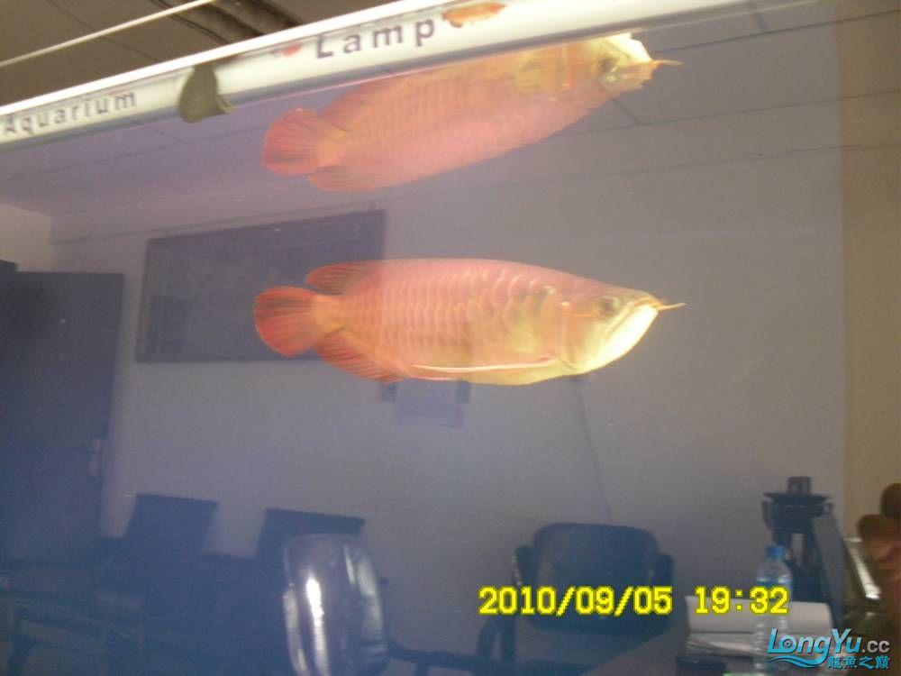我的红龙鱼,前济南观赏鸟处理面发贴,大家说鱼发色慢我买了御龙国际顶灯后的效果!大 济南观赏鱼 济南龙鱼第51张