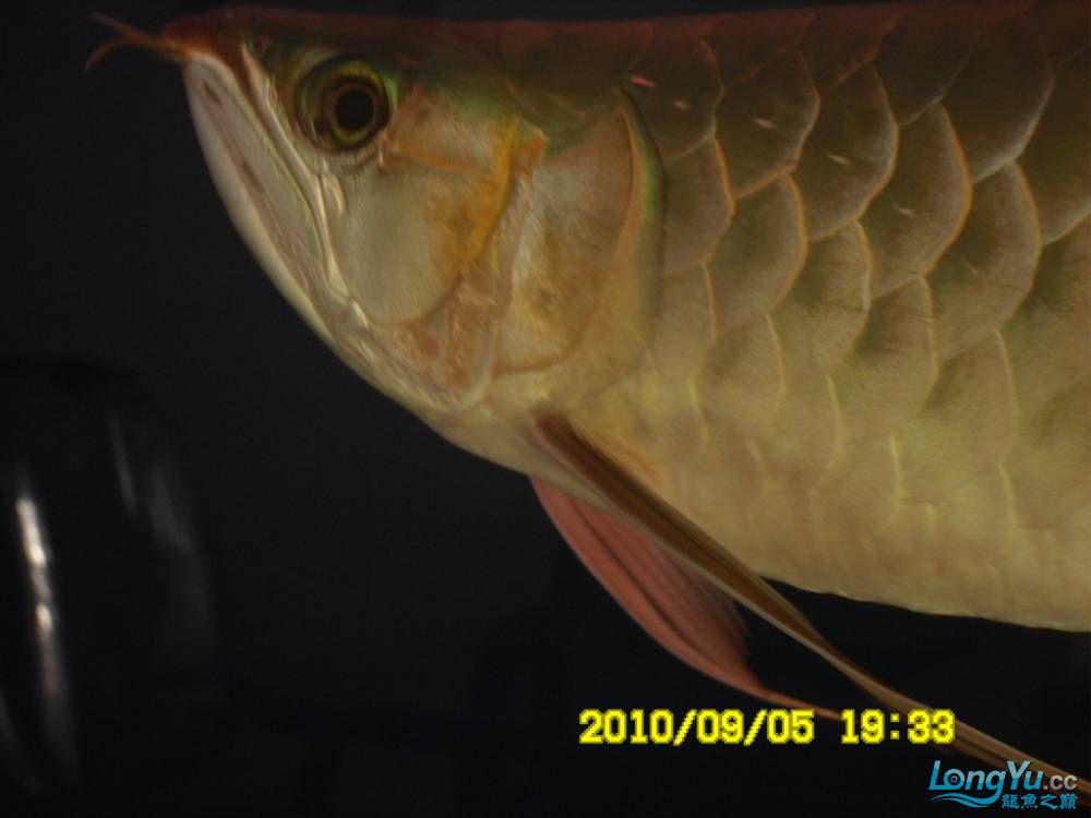 我的红龙鱼,前济南观赏鸟处理面发贴,大家说鱼发色慢我买了御龙国际顶灯后的效果!大 济南观赏鱼 济南龙鱼第52张