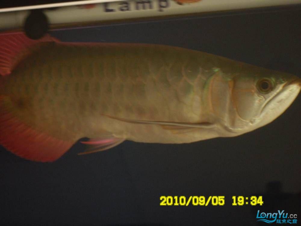 我的红龙鱼,前济南观赏鸟处理面发贴,大家说鱼发色慢我买了御龙国际顶灯后的效果!大 济南观赏鱼 济南龙鱼第53张