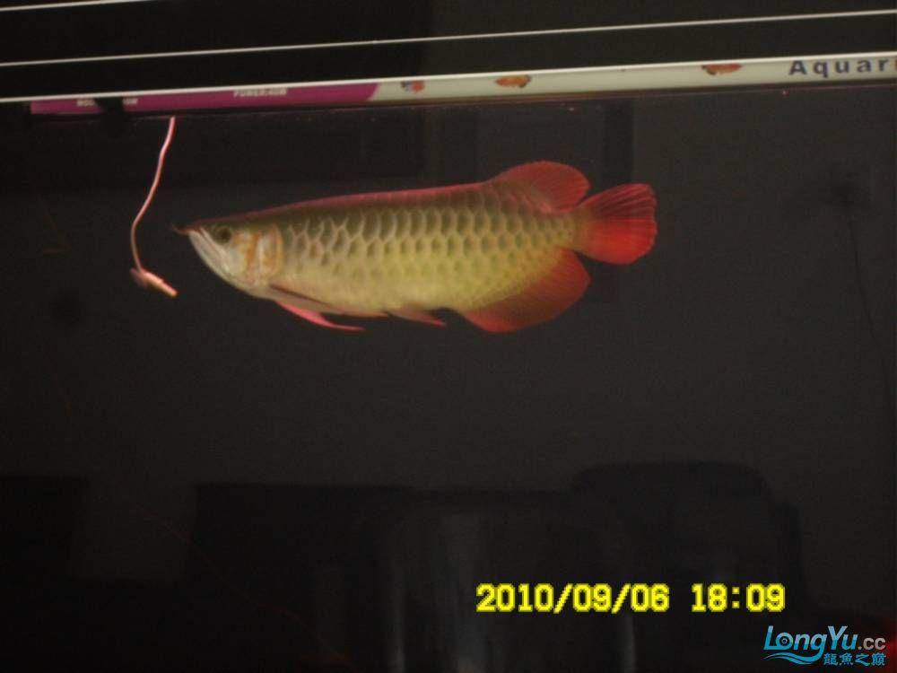 我的红龙鱼,前济南观赏鸟处理面发贴,大家说鱼发色慢我买了御龙国际顶灯后的效果!大 济南观赏鱼 济南龙鱼第60张