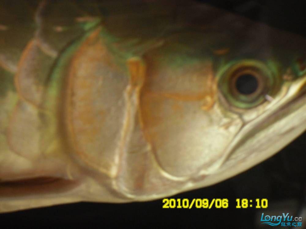 我的红龙鱼,前济南观赏鸟处理面发贴,大家说鱼发色慢我买了御龙国际顶灯后的效果!大 济南观赏鱼 济南龙鱼第64张