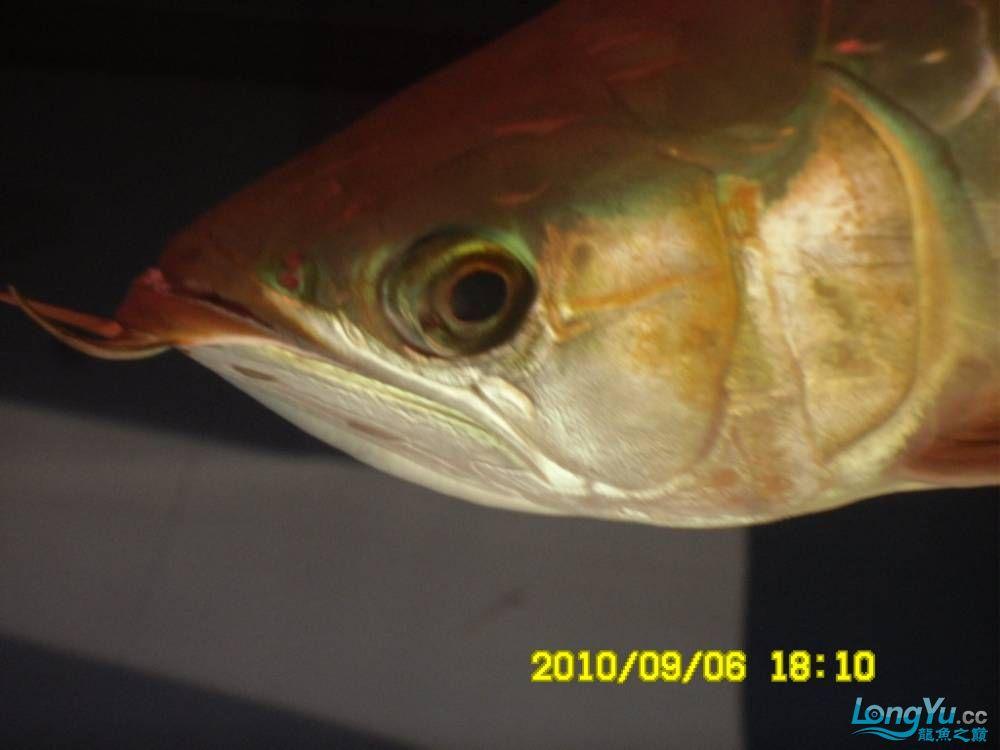 我的红龙鱼,前济南观赏鸟处理面发贴,大家说鱼发色慢我买了御龙国际顶灯后的效果!大 济南观赏鱼 济南龙鱼第65张