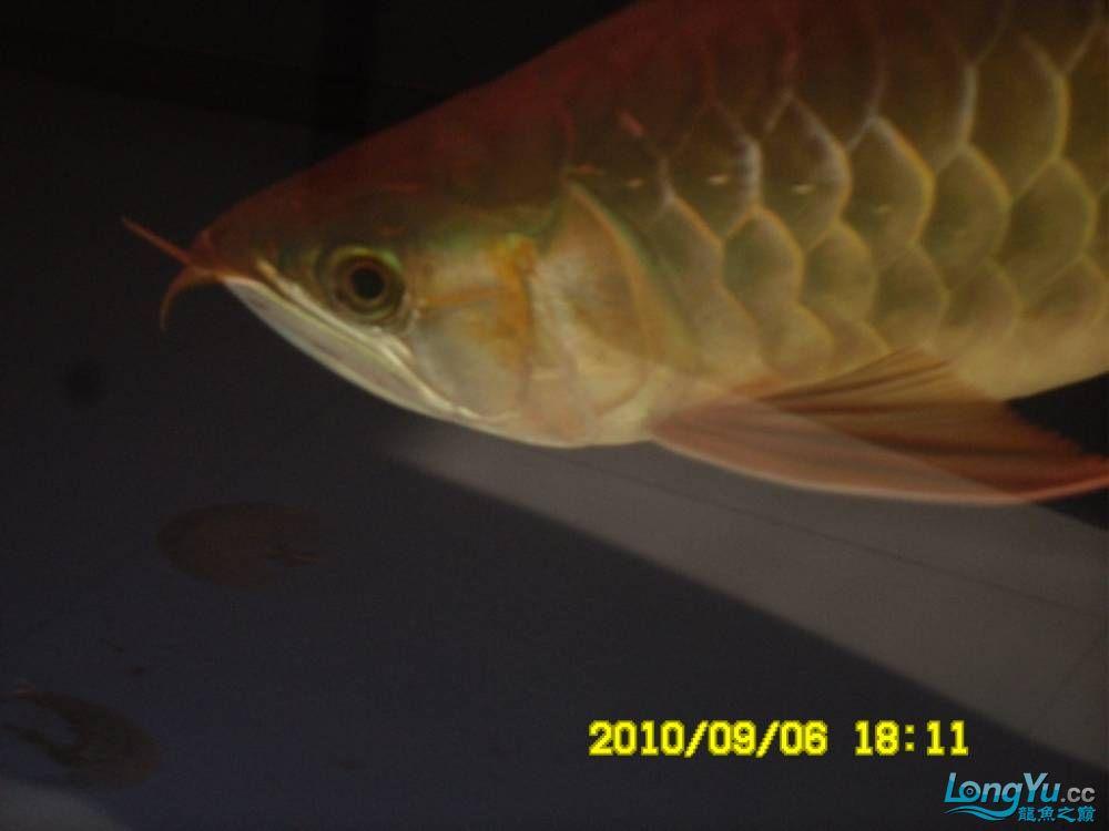 我的红龙鱼,前济南观赏鸟处理面发贴,大家说鱼发色慢我买了御龙国际顶灯后的效果!大 济南观赏鱼 济南龙鱼第32张