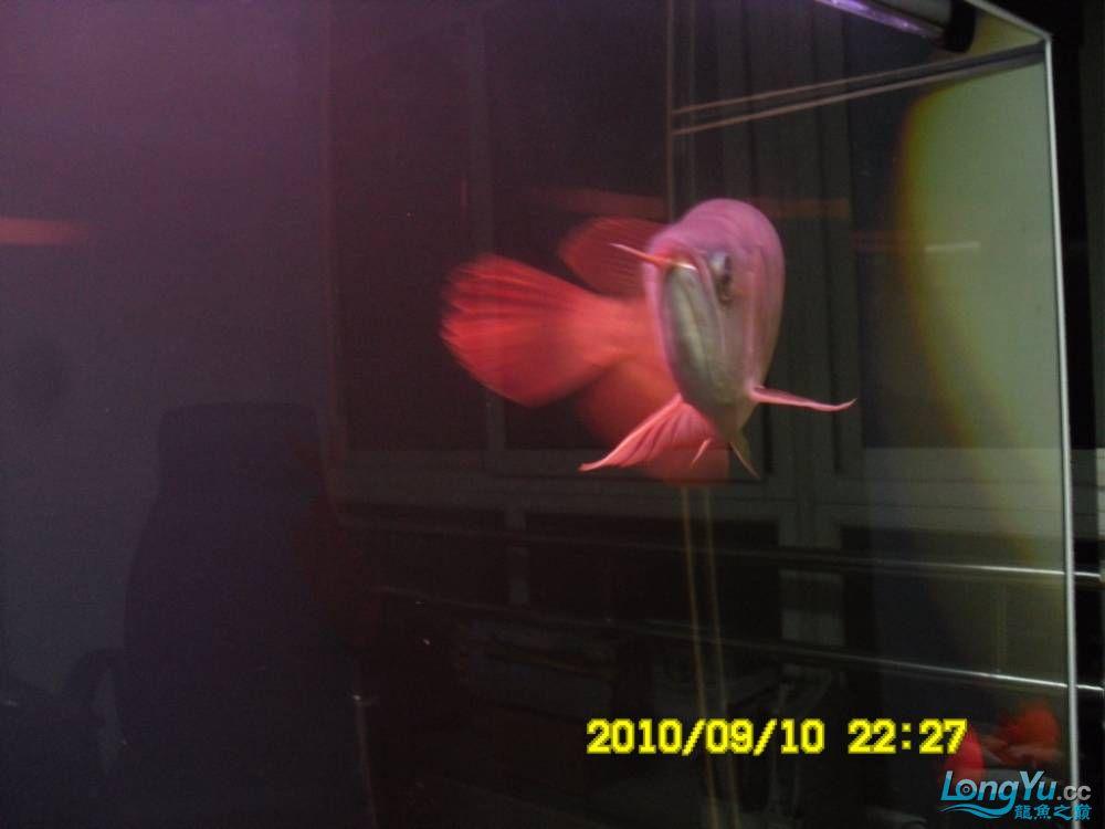 我的红龙鱼,前济南观赏鸟处理面发贴,大家说鱼发色慢我买了御龙国际顶灯后的效果!大 济南观赏鱼 济南龙鱼第13张