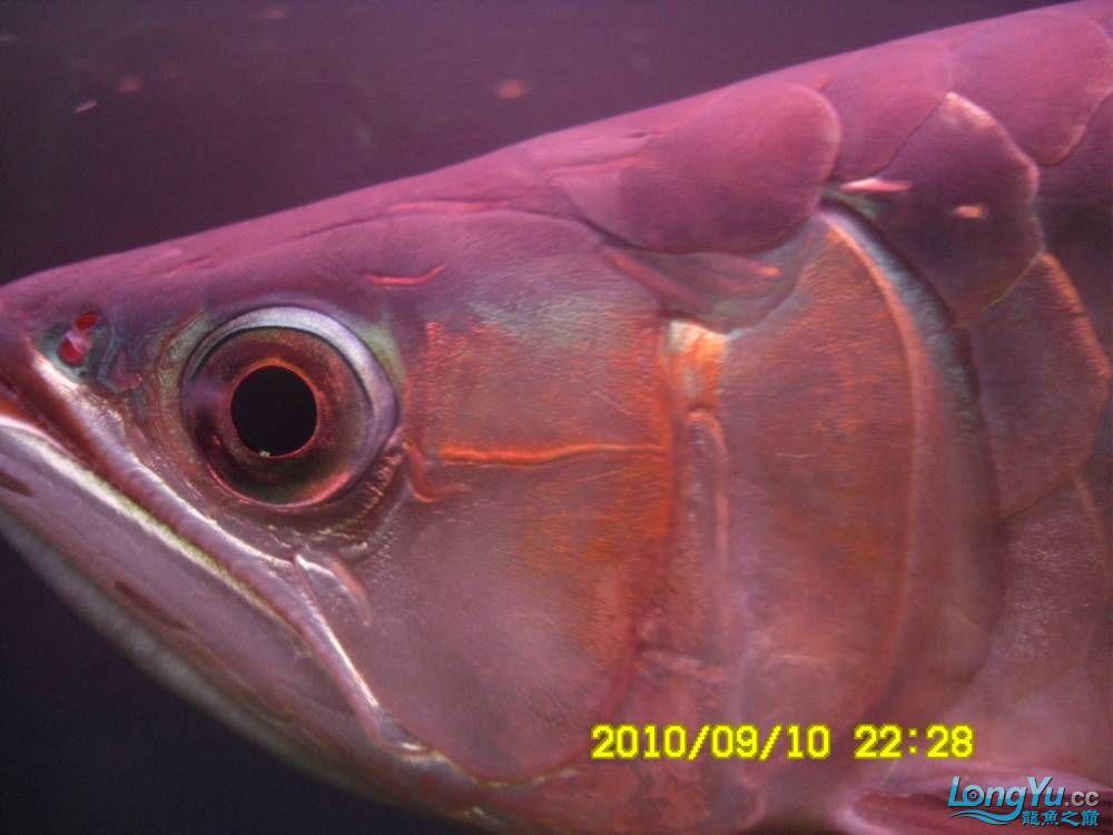 我的红龙鱼,前济南观赏鸟处理面发贴,大家说鱼发色慢我买了御龙国际顶灯后的效果!大 济南观赏鱼 济南龙鱼第10张